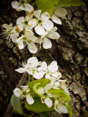 Blooming Hawthorn closeup photo
