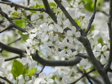Blooming Hawthorn Stock Photo