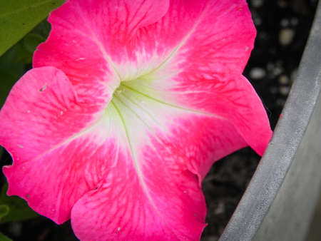Bright Pink Petunia Macro Close up Banque d'images - 102235997