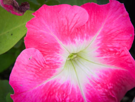 Bright Pink Petunia Macro Close up