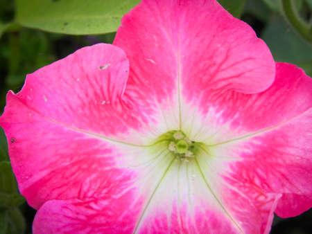 Bright Pink Petunia Macro Close up