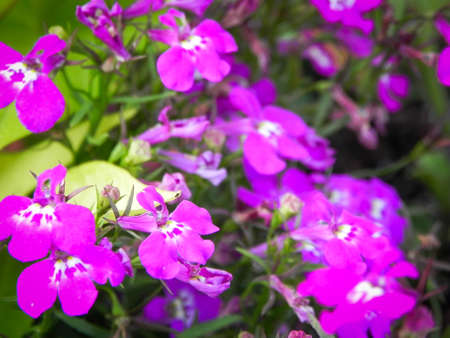 Tiny purple garden flowers Macro close up