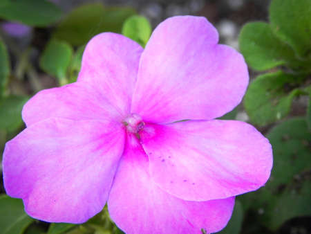 Pale purple garden flower Macro Close up