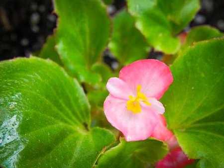 Red Geranium Macro Close up