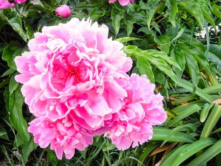 Pink Peony Macro close up Banco de Imagens