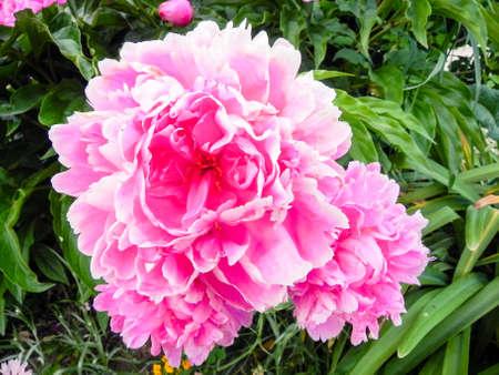 Pink Peony Macro close up Фото со стока