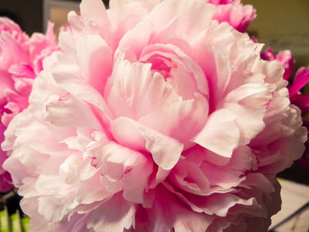 Pink Peony Macro close up 스톡 콘텐츠