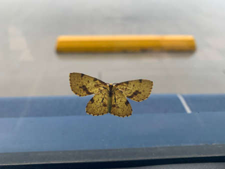 Clouded yellow butterfly on glass Stockfoto - 158028066