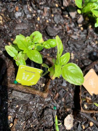 Growing thyme Stockfoto - 158028074