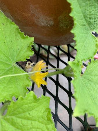 Blooming gherkin vines