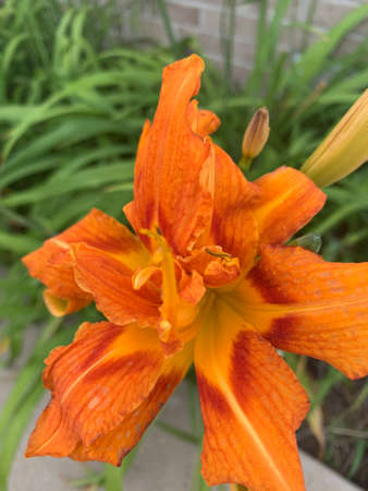 Orange ditch lily in bloom