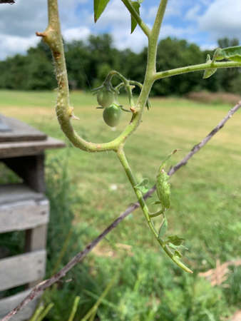 growing green tomatos