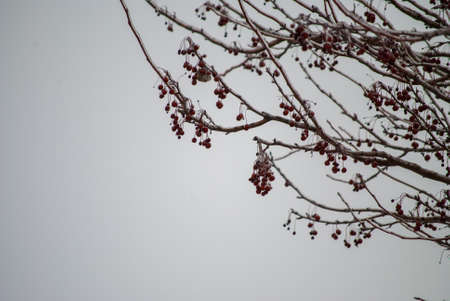 Ice on Tree branches in winter