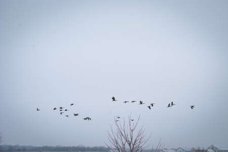 Geese flying overhead in formation Stockfoto