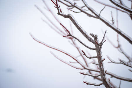 Ice Covered Tree Branches in Winter