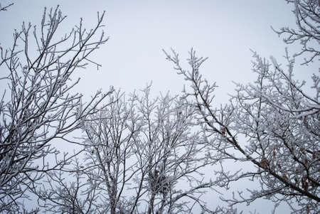 frost covered trees