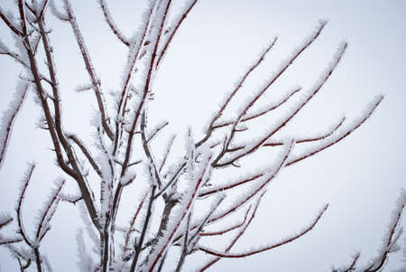 frost covered branches