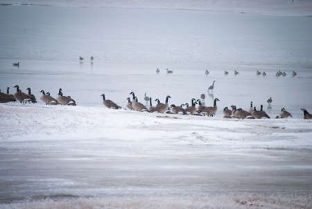 migrating geese on snowy shoreline