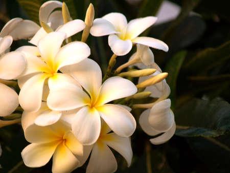 Native Hawaii Plumeria Flowers
