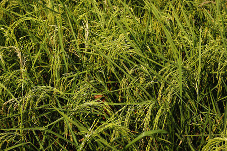 Close up rice plant in a filed.
