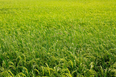 photo of rice plant in a filed. Stock Photo