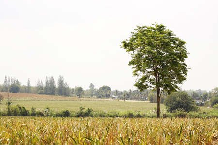 view of a lonely tree in the farm. Stock Photo