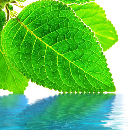 Green leaves over water