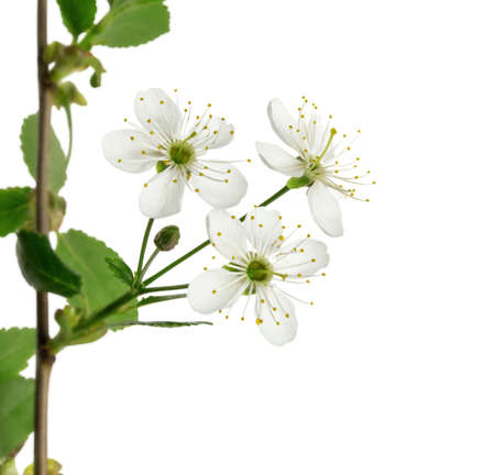 White flowers on the fruit tree
