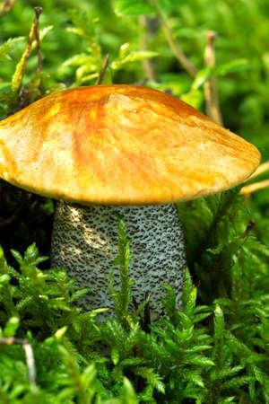 botanica: Mushroom in the forest Stock Photo