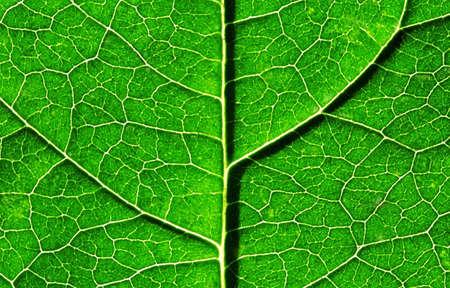 chlorophyll: Closeup of green leaf Stock Photo