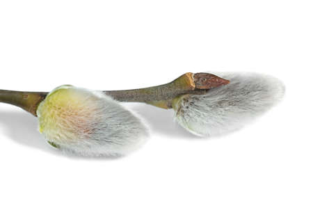 Macro of Pussy Willow catkins Stock Photo