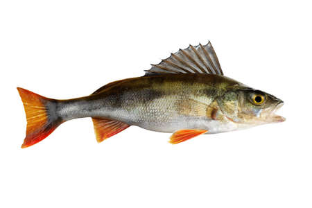 the perch: Perch, whole fish, isolated on white