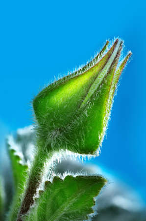 Flower bud on blue background Stock Photo - 13467850