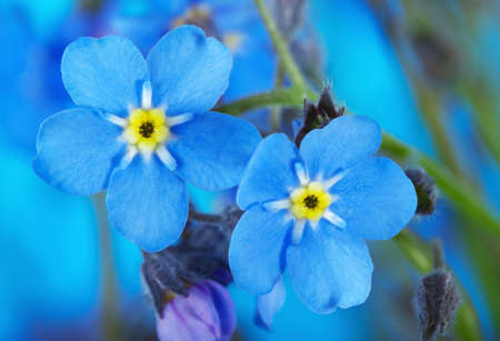 blue flowers: Macro of Forget-me-not