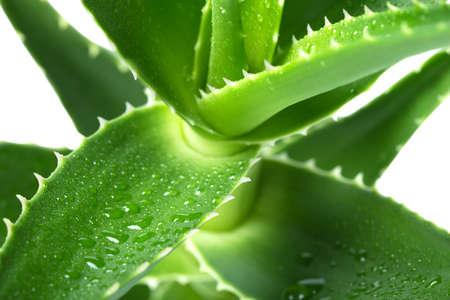 Macro of flower Aloe Stock Photo
