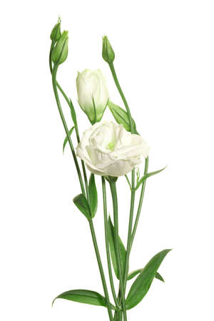 Bouquet of white roses on the white background