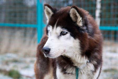 The portrait of husky dog