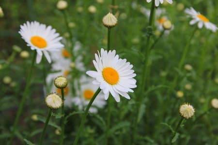 Chamomile flower in the garden at japan photo