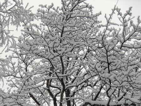 trees in the snow Фото со стока - 50817750