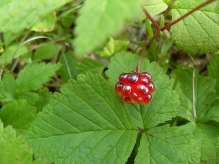 Raspberry ordinary Фото со стока - 50830213