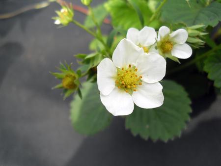 strawberry flower Фото со стока - 50900806