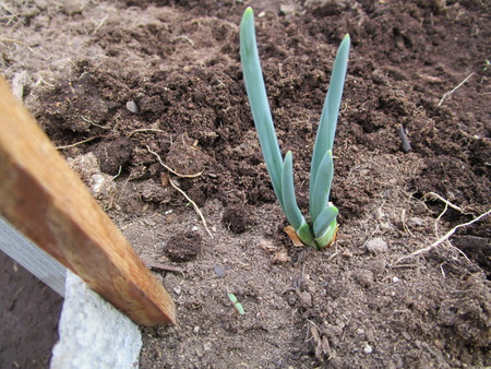 Shoots of onion. Grow large bulbs in a greenhouse in early spring and get a lot of green onions Фото со стока - 59647068