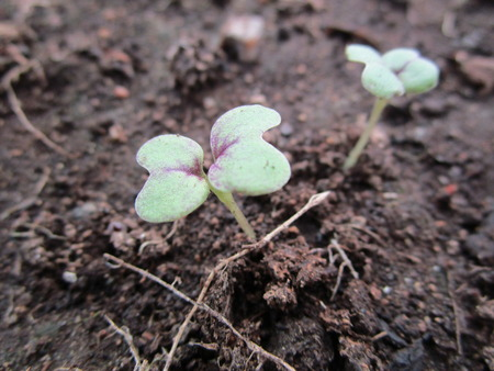 Sprouts mustard leaf. In the heated greenhouse in April, you can get a lot of greenery. On Kamchatka