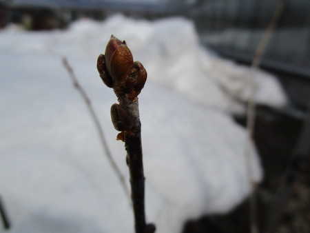 Currant branch with spring buds unblown in snow Фото со стока - 59713635