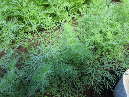 Dill in the garden. Annual herbaceous plant of the family Umbrella, used in cooking and medicine