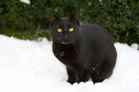 Black cat on the snow photo