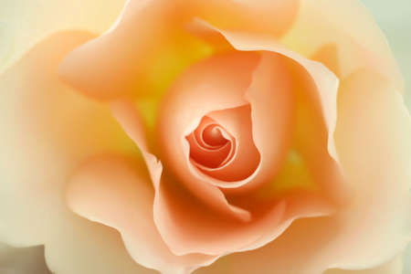beige: Beautiful beige rose in bloom