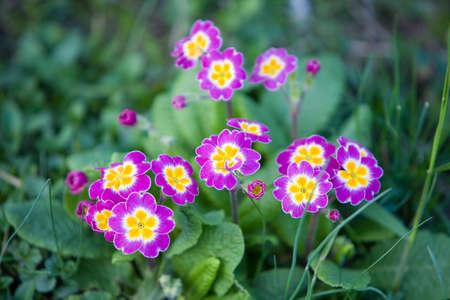 primrose: Primrose in the forrest