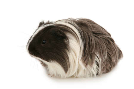 Young guinea pig isolated on white Stock Photo - 7315028