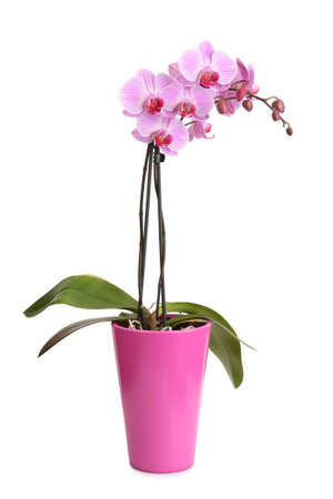 Beautiful pink orchid in the pot isolated on white photo